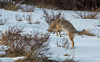 Coyote hunting, Grand Teton National Park. (scepdoll) Tags: grandtetonnationalpark jackson jacksonhole kelly wyoming coyote snow winter unitedstatesofamerica