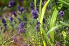 dsc09065_Lavender (FanzFlames) Tags: lavender smells great