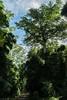 Ficus watkinsiana (dustaway) Tags: moraceae ficuswatkinsiana nipplefig subtropicalrainforest road cambridgeplateau richmondrange northernrivers nsw nature australia forestscape arfp nswrfp qrfp subtropicalarf