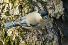 Oiseaux du jardin (Ariège) (PierreG_09) Tags: seix ariège pyrénées pirineos couserans faune oiseau jardin bouvreuilpivoine pyrrhulapyrrhula eurasianbullfinch passériformes fringillidés gimpel occitanie camachuelocomún