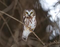 Northern Saw Whet Owl (Khanh B. Tran) Tags:
