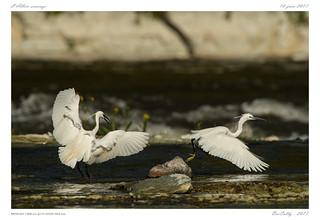 Aigrette garzette | Little Egret