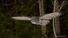 On a mission (Earl Reinink) Tags: owl predator bird animal raptor woods forest eyes wings earl reinink earlreinink nature naturephotography greatgrayowl outdatadta