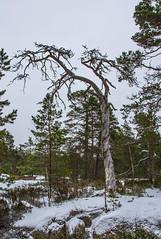 Kelo (Markus Heinonen Photography) Tags: kelo puu tree träd luonto nature kasavuori kasaberget espoo esbo suomi finland metsä forest skog