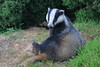 Chilling (blootoonloon1( No to Badger Cull)) Tags: badger melesmeles scotland aberdeenshire nature animal black white colours sitting brock
