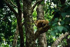 Don Coati (julien.ginefri) Tags: argentina argentine america latinamerica southamerica brasil brazil iguazu iguaçu coati
