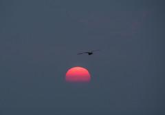 A Quiet Sunrise (Shastajak) Tags: sunrise sunup daybreak dawn seagull herringgull bird