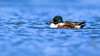 Northern Shoveler Drake (gilamonster8) Tags: northern shoveler drake duck bird animal lake pond water ngc flickrelite explore eos explored ef400mm56l 7dmarkii