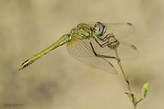 Sympetrum fonscolombii. (Selys, 1840) Yong male (Ricardo Menor) Tags: odonatos odonata anisópteros libélulas dragonflies dragonfly airelibre iluminaciónnatural sympetrumfonscolombii macho machojoven youngmale male