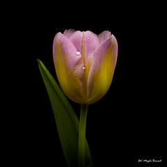 Colorful tulip (Magda Banach) Tags: canon canon80d sigma150mmf28apomacrodghsm blackbackground colors drops flora flowers green macro nature pink plants tulip yellow