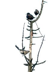 ShrikingStar (jmishefske) Tags: 2018 january parkway nikon shrike d500 northern wisconsin perched greenfield rootriver bird