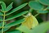 _DSC9918 (kitefarrago) Tags: cockoftherocklodge eurema madrededios manunationalpark peru pieridae whites butterflies