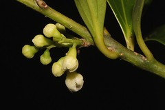 Cryptocarya laevigata (andreas lambrianides) Tags: cryptocaryalaevigata oreodaphnebowiei cryptocaryabowiei laurusbowiei cryptocaryaaustralis redfruitedlaurel greysassafras glossylaurel australianflora australiannativeplants australianrainforests australianrainforestplants australianrainforestflowers arfp qrfp nswrfp arfflowers lowlandarf yellowarfflowers laureaceae