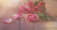 The Romance... (KissThePixel) Tags: petal petals romance romantic macro bokeh softbokeh soft pastel pink pinkflower pinkrose flower rose nikon nikond750 sigma sigmaart sigmaf14 f14 stilllife stilllifephotography love beautiful beauty creativephotography creativeart fineart art artistic 50mm