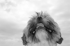 My dog Booster !!! (François Tomasi) Tags: dog sky françoistomasi tomasiphotography reflex nikon lights light lumière monochrome blackandwhite noiretblanc portrait photo photographie photography photoshop france europe lanouvellerépublique touraine indreetloire tours villedetours pointdevue pointofview pov shihtzu yahoo google flickr janvier 2018