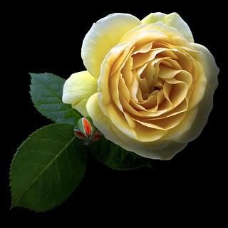 Rose Y