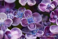 Hydrangea flowers (Anna Calvert Photography) Tags: floral flowers garden macro macrophotography mygarden nature naturephotography petals plants hydrangea pink purple