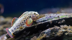 Redline Darter #4 (PhillipsVonNoog) Tags: tennessee aquarium biology freshwater water fish redline red line darter animal animals wildlife etheostoma rufilineatum d5300 dslr nikon