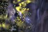 Flaming  Bokeh (Of Light & Lenses) Tags: privet gardenbokeh liguster wintersun sonya7rii carlzeiss teletessar 40300mm teletessar40300mm zaubernuss witchhazel yellow flame bokeh zeiss300mmreview flaming floating elements eagleseyes tessar planar sonnar