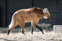 Maned Wolf at National Zoo (dckellyphoto) Tags: 2018 washingtondc washington districtofcolumbia nationalzoo zoo animal smithsoniansnationalzooandconservationbiologyinstitute canon1300d canonrebelt6 chrysocyonbrachyurus wolf manedwolf canine smithsonian