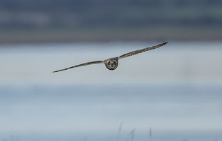 Short eared Owl - One for the record