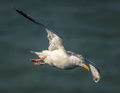 Herring Gull in flight. (Tony Smith Photo's) Tags: avian bird coast flight flying nature sea shore white wild wildlife yorkshire animal argentatus background bempton birdwatching blurred cliffs eastyorkshire flamboroughhead gull herring herringgull larus larusargentatus one ornithology seabird seagull seagulls seashore bif canon eos70d sigma 150600contemporary