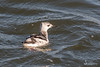 Black Guillemot (Shane Dowling Photography) Tags: irishbirds irishwildlife birds seabirds gulls starfish lapwing grebe countyclare