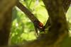 蝉 (Hachimaki123) Tags: nara 奈良 萬葉植物園 manyobotanicalgardens 日本 japan 虫 動物 animal insect insecto 蝉 cicada cigarra