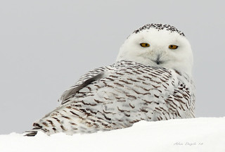 Harfang des neiges \ Snowy Owl