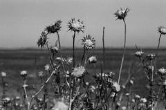Merced (bior) Tags: merced flower agriculture rural kodakplusxpan plusx px125 125px rebel2000 canoneosrebel2000 blackandwhite