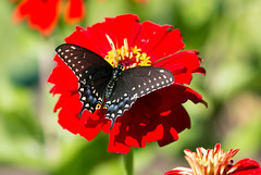 IMG_7717 Black Swallowtail Butterfly (suebmtl) Tags: insect animal bug butterfly blackswallowtail canada summer red zinnia feeding papiliopolyxenes
