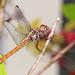 Roseate Skimmer - Orthemis ferruginea, Arthur Marshall Loxahatchee National Wildlife Refuge, Boynton Beach, Virginia