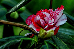 January Camellia Exhibition at the Flora Cologne from 18 January to 14 April 2018 (scorpion (13)) Tags: camelia flower blossom nature greenhouse flora cologne photoart color creative leaves winter