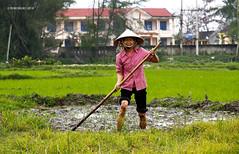 Vietnamese Rice Fields (rokobilbo) Tags: vietnam fields agriculture rice rural typical woman work customs