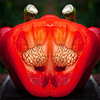 Home Grown Pepper (nikonmike99) Tags: pepper red erotic fun safe crazy american