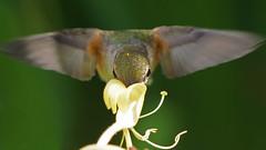 Little Winged Wonder (photosauraus rex) Tags: bird hummingbird rufoushummingbird selasphorusrufus