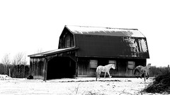 Two horses and their barn (pegase1972) Tags: quebec qc canada winter hiver neige snow cheval horses grange québec barn