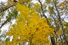 Yellow maple cap (МирославСтаменов) Tags: russia moscowregion pushchino maple acer tree crown yellow fall forest autumn