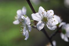 Fleur (jpto_55) Tags: meurisier fleur fleurdemerisier macro xe1 fuji fujifilm omlens om50mmf2macro hautegaronne france