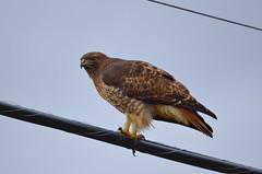 Red-tailed Hawk (Neal D) Tags: bc abbotsford sumasprairie bird hawk redtailedhawk buteojamaicensis