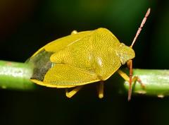 Shield bug ( Piezodorus lituratus )  DSC_0306 (Me now0) Tags: полутвърдокрили софиябългарияевропа юженпарк лято никонд5300 насекомо близъкплан макро stinkbug yellow insect bug nikond5300 micronikkor40mm summer park europe shieldbug naturebynikon piezodoruslituratus