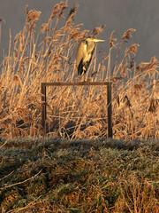 czapla siwa // Ardea cinerea // heron (stempel*) Tags: polska poland polen polonia gambezia pentax k30 bigma ardea cinerea czapla siwa gray heron ptak bird nature