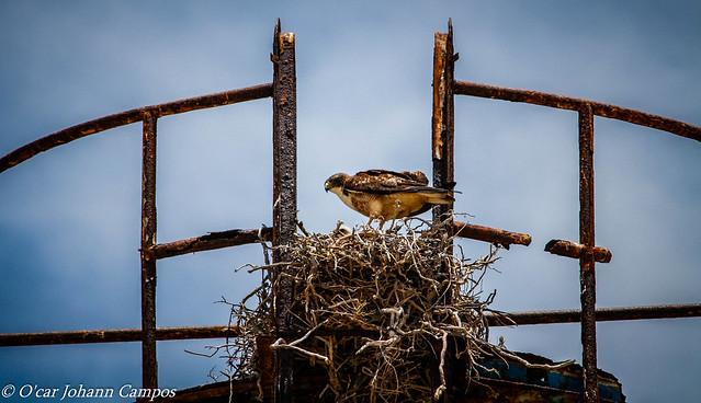 Aguilucho - Variable Hawk