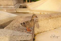Quack (wesleyramsey) Tags: duck wildlife nature bird sunny park arizona scottsdale sony a7r supertakumar 135mm