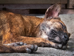 Street Dog Dreams (FotoGrazio) Tags: philippines streetdog streetphotography waynegrazio waynesgrazio animal canine composition dog dogs dream dreaming fotograzio fur mansbestfriend paws pet pets resting sleep sleeping stray