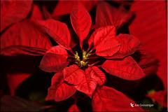 Poinsettia (jgbirdmangrossinger) Tags: poinsettia red flower christmas joegrossinger
