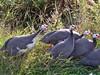 Guinea Fowl (2) (Deida 1) Tags: guineafowl birds field countryroad suffolk uk