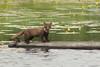 Boommarter, een bijzondere ontmoeting in de Weerribben (weerribbenfotograaf) Tags: zoogdieren