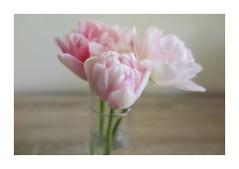 Se faire du printemps (nathaliedunaigre) Tags: fleurs flowers tulipes spring printemps rêve dream douceur softness
