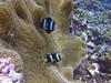 Clown fish (Peter_069) Tags: tauchen diving scuba malediven maldives äqypten egypt wasser water underwater unterwasser padi fische fisch fish shellfish muscheln moräne moränen moraine batfish fledermausfisch koralle korallen coral nemo clownfisch clownfish boot boat vessel blaueswasser bluewater